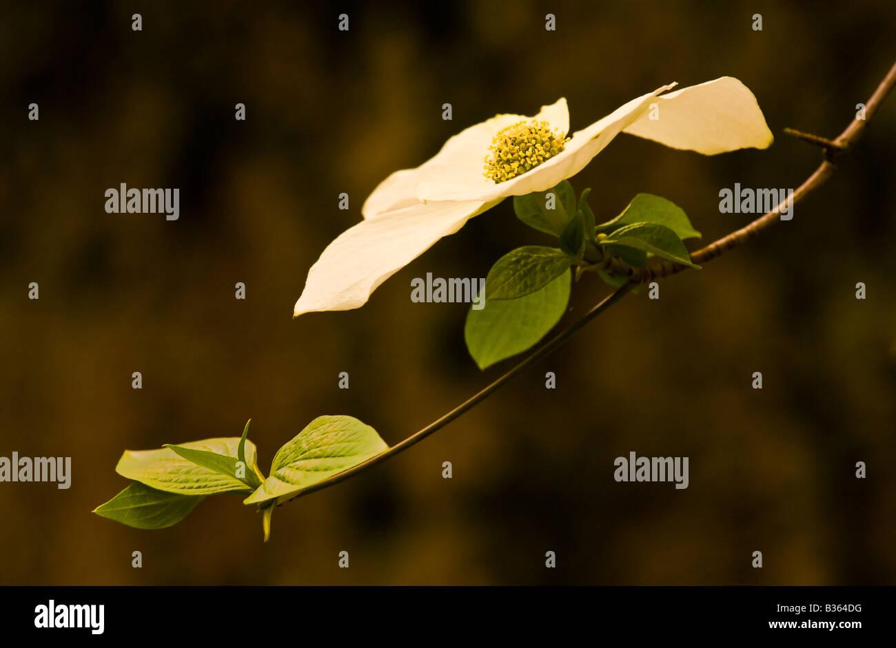 A dogwood blossom in soft light Yosemite National Park California USA - Stock Image