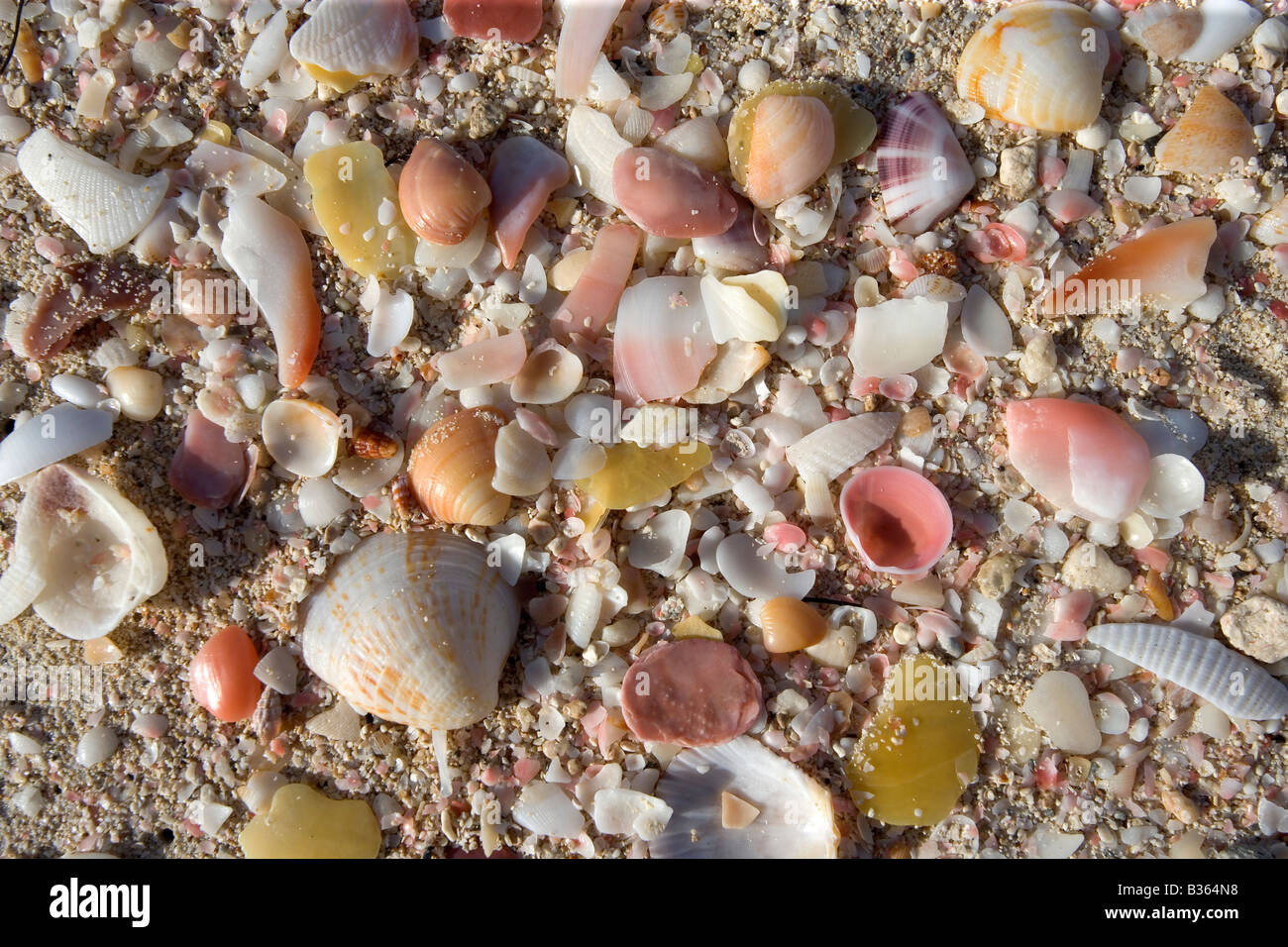 Sand, shells and broken bits of shell make a colorful still life on 11 Mile Beach in Barbuda West Indies - Stock Image