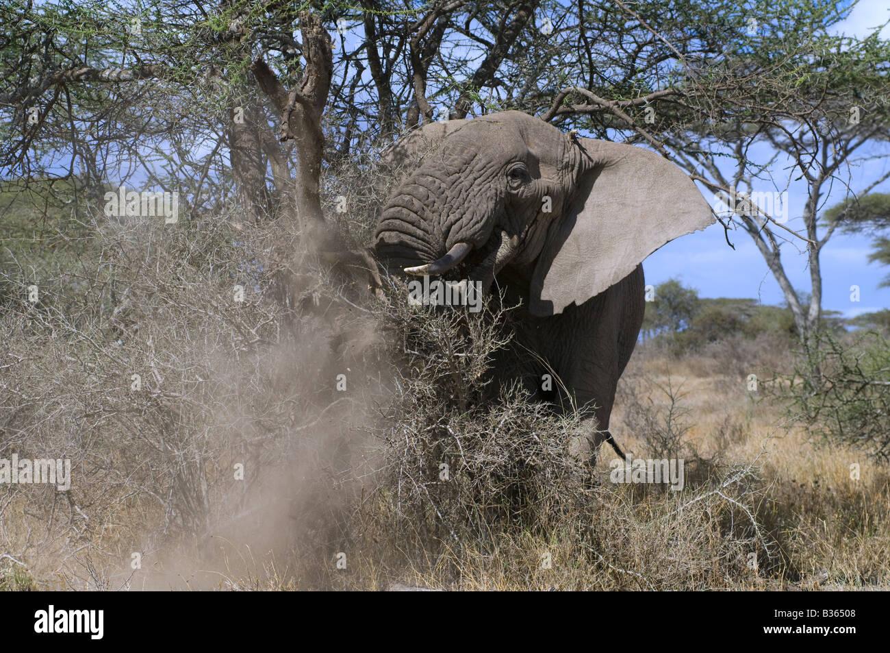 African elephant (Loxodonta africana) breaking a tree in a demonstration charge, Ndutu, Ngorongoro, Tanzania - Stock Image