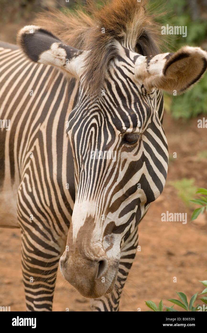 Grevy s Zebra Equus grevyi in a safari park Stock Photo