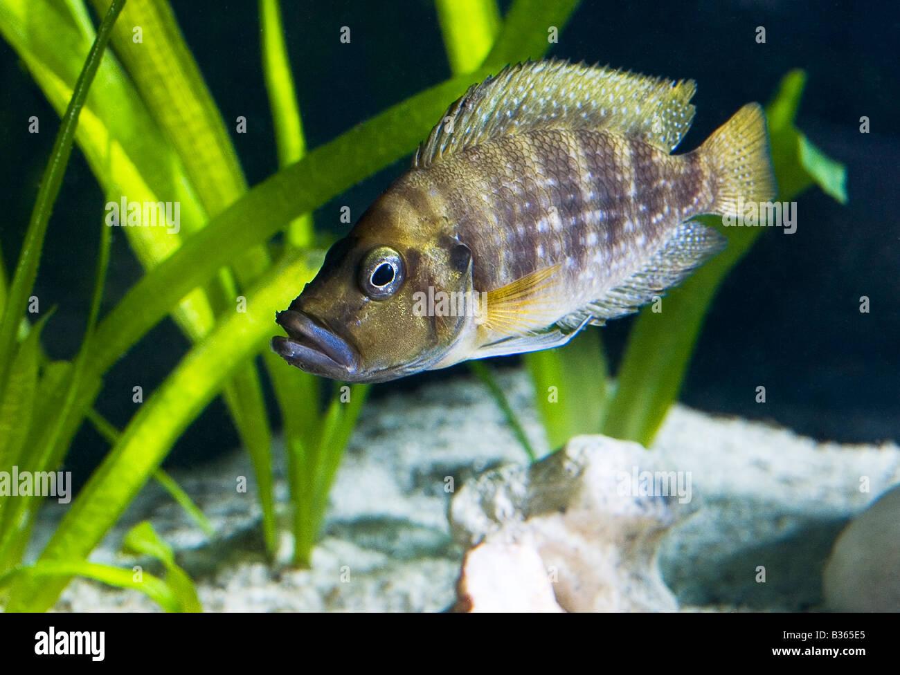 Cichlid Fish from Tanganyika - Stock Image