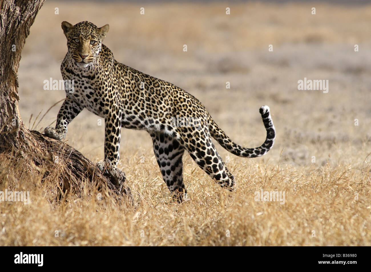 African Leopard, male attempting to climb into a tree (Panthera pardus), Ndutu, Ngorongoro, Tanzania - Stock Image