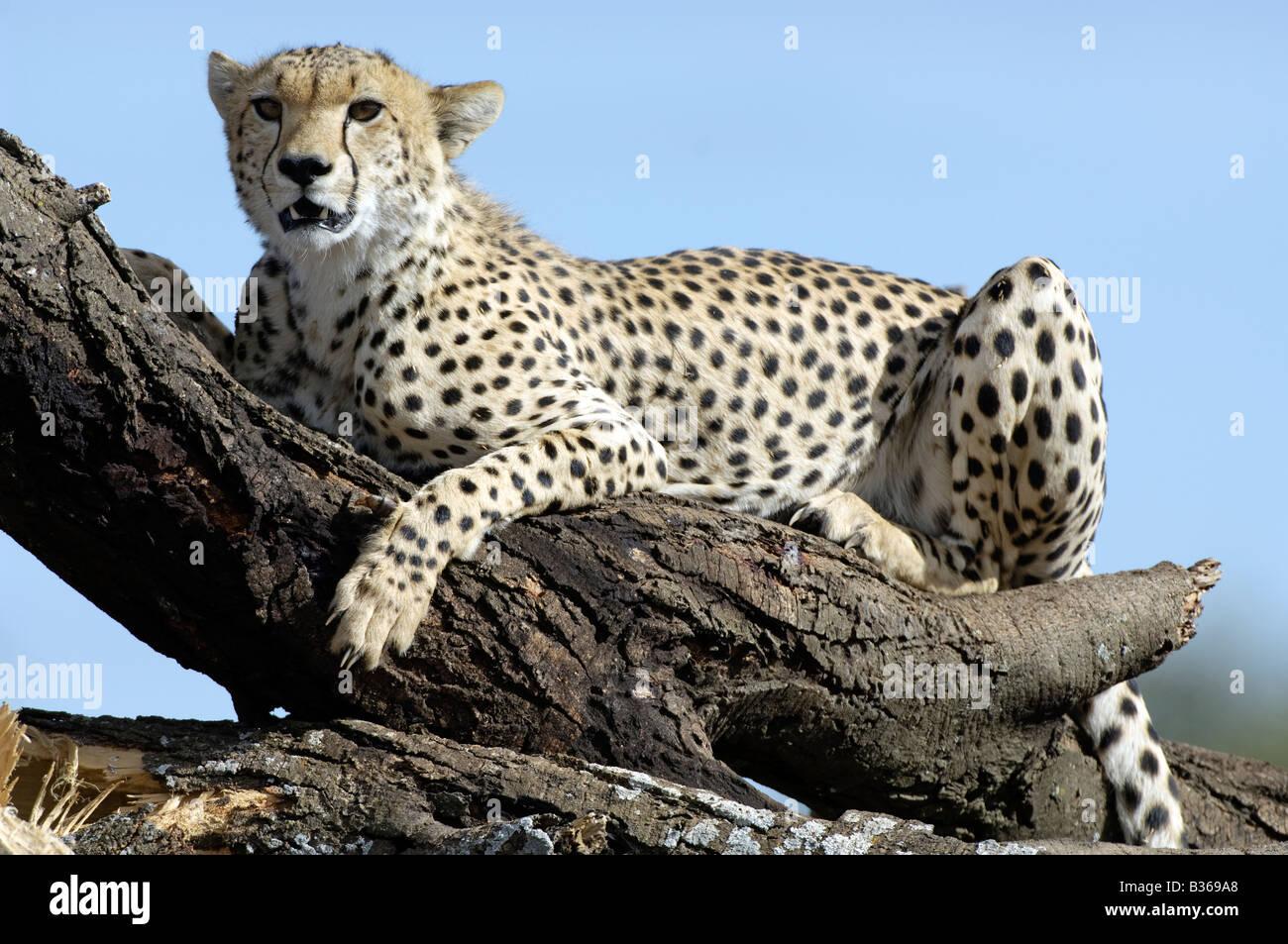 Cheetah using a collapsed tree as a vantage point to look for prey (Acinonyx jubatus) Ndutu, Ngorongoro, Tanzania - Stock Image