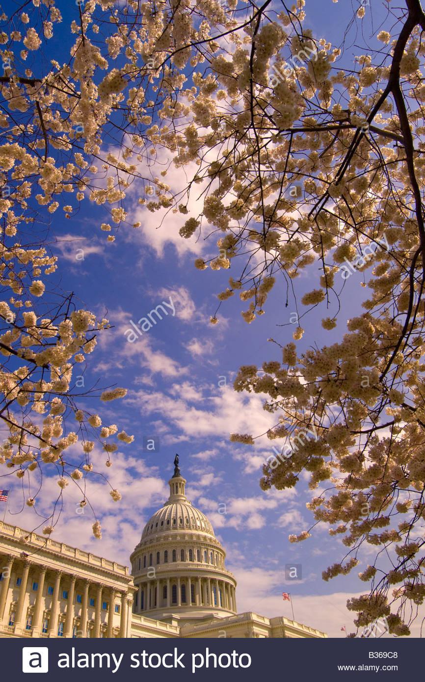 Cherry blossoms U S Capitol Washington D C U S A - Stock Image