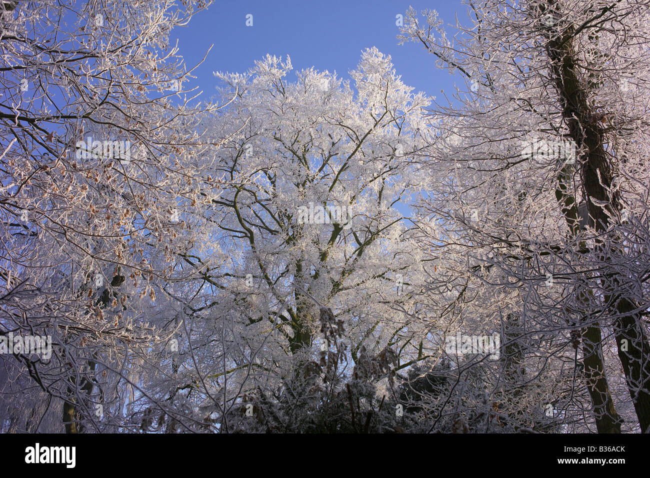Ice on trees following frost after damp weather - Stock Image
