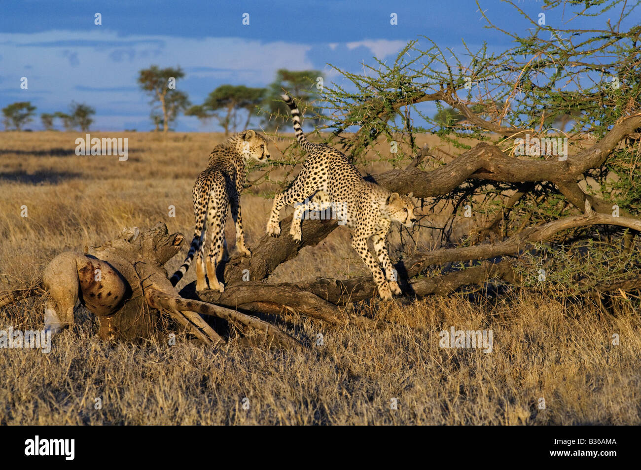 Cheetah litter mates playful adult cubs climbing a tree (Acinonyx jubatus), Ndutu, Ngorongoro, Tanzania - Stock Image