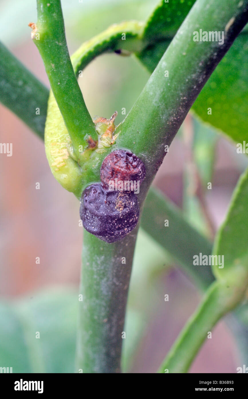 SCALE INSECT ON CITRUS - Stock Image