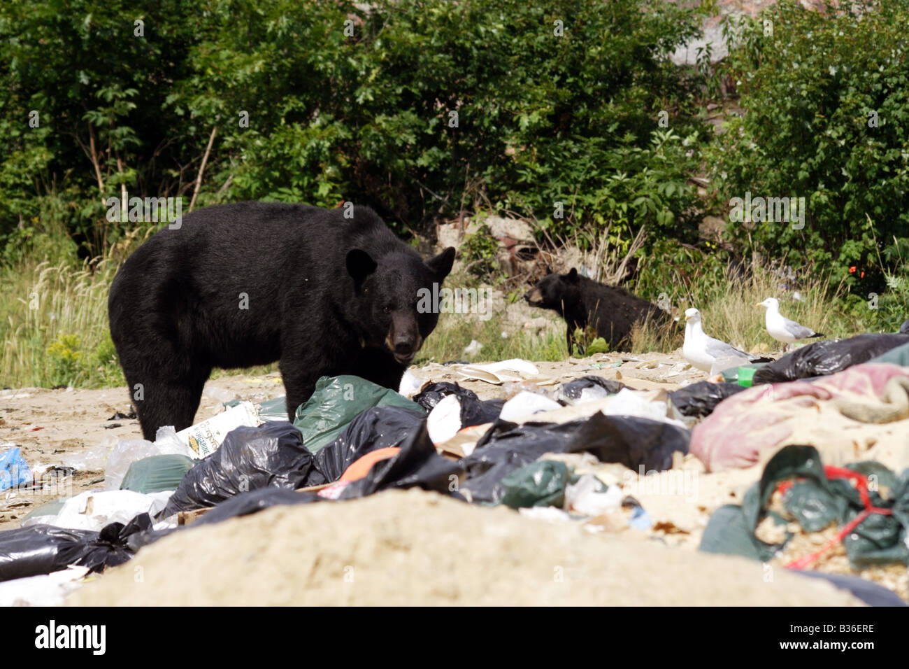 Black bears searching garbage for food at garbage dump site in killarney ontario canada