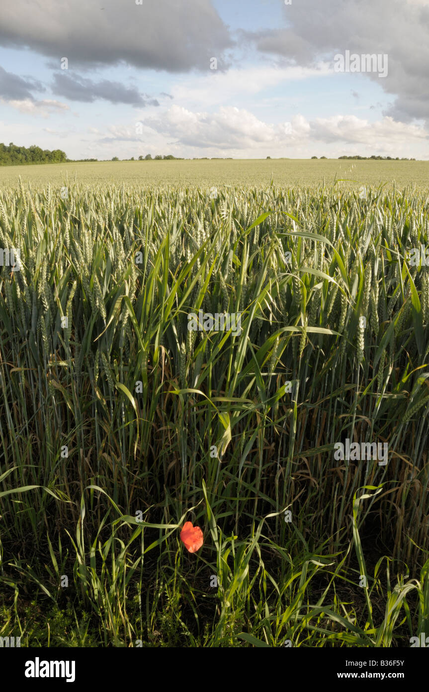 Solitary poppy on the edge of a wheat field with cloudy sky, Archingeay, France - Stock Image
