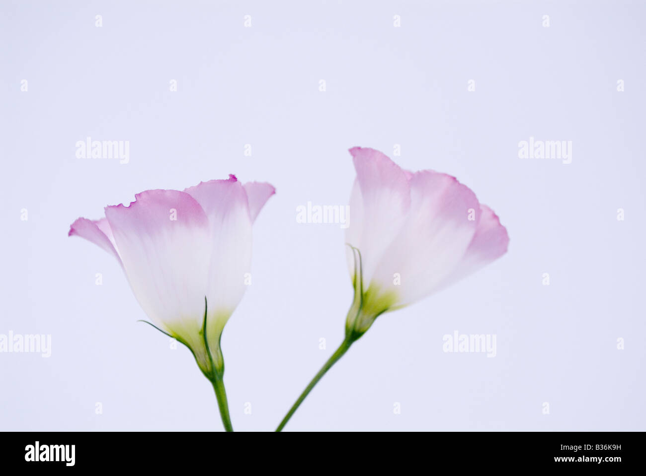 Eustoma grandiflorum - Stock Image