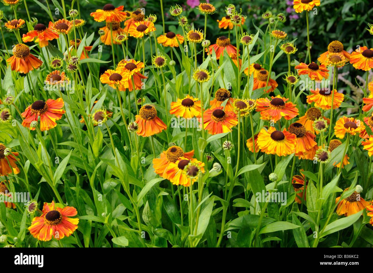 Helenium Moerheim Beauty flowering in summer garden Norfolk UK August - Stock Image