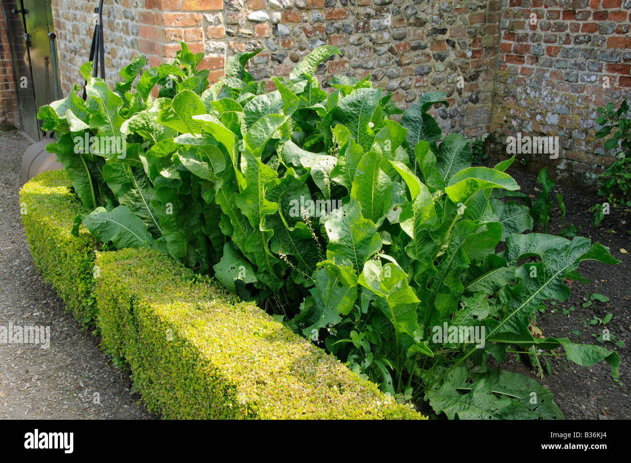 Horseradish armoracia rusticana cultivated for culinary use in a large walled garden Norfolk UK July - Stock Image