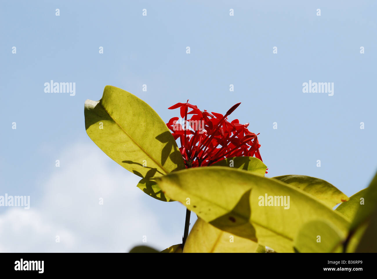 Red jasmine flower stock photos red jasmine flower stock images a red ixora plant with flower with blue sky in background stock image izmirmasajfo