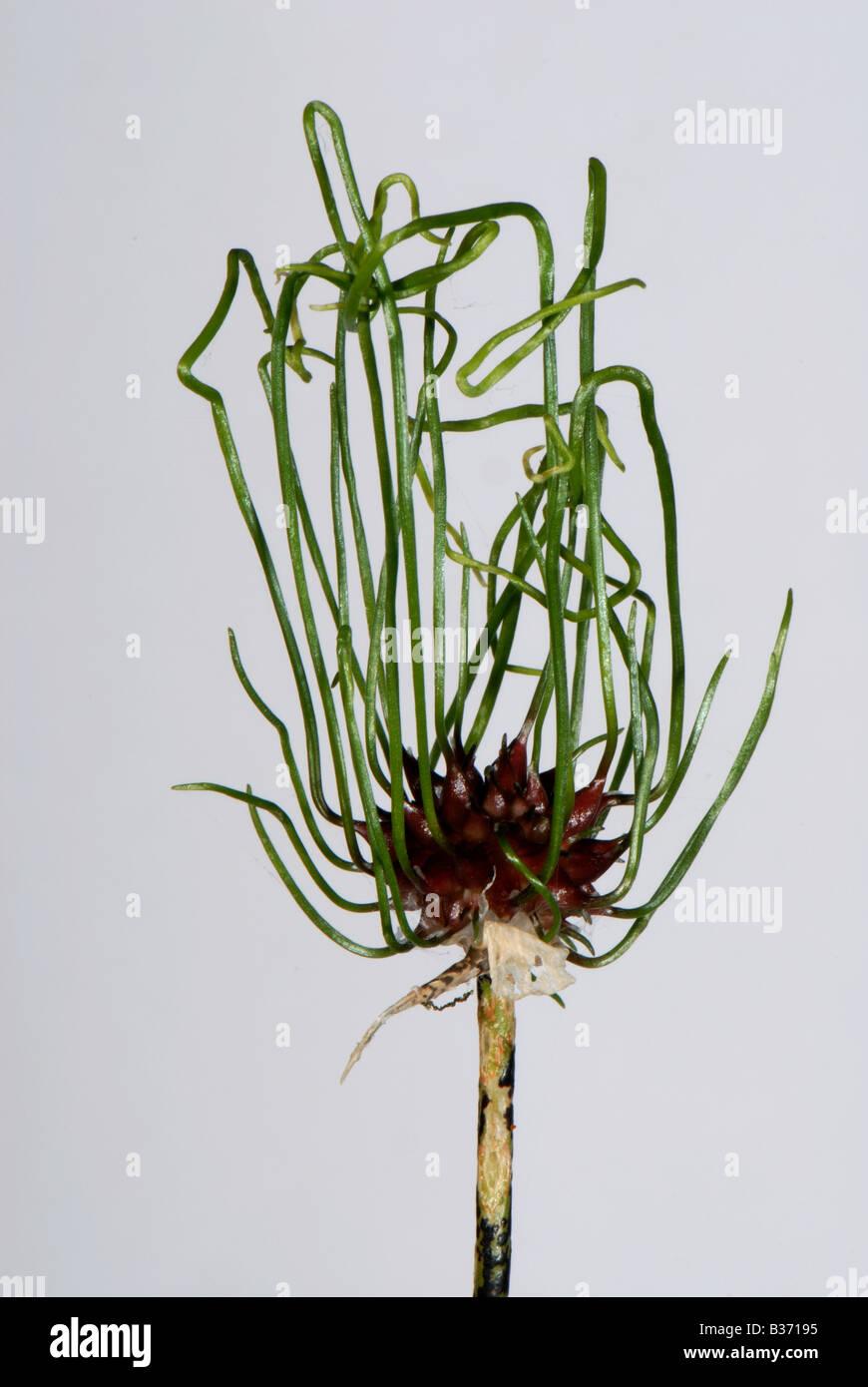 Flowerhead of crow garlic Allium vineale showing germinating bulbils - Stock Image