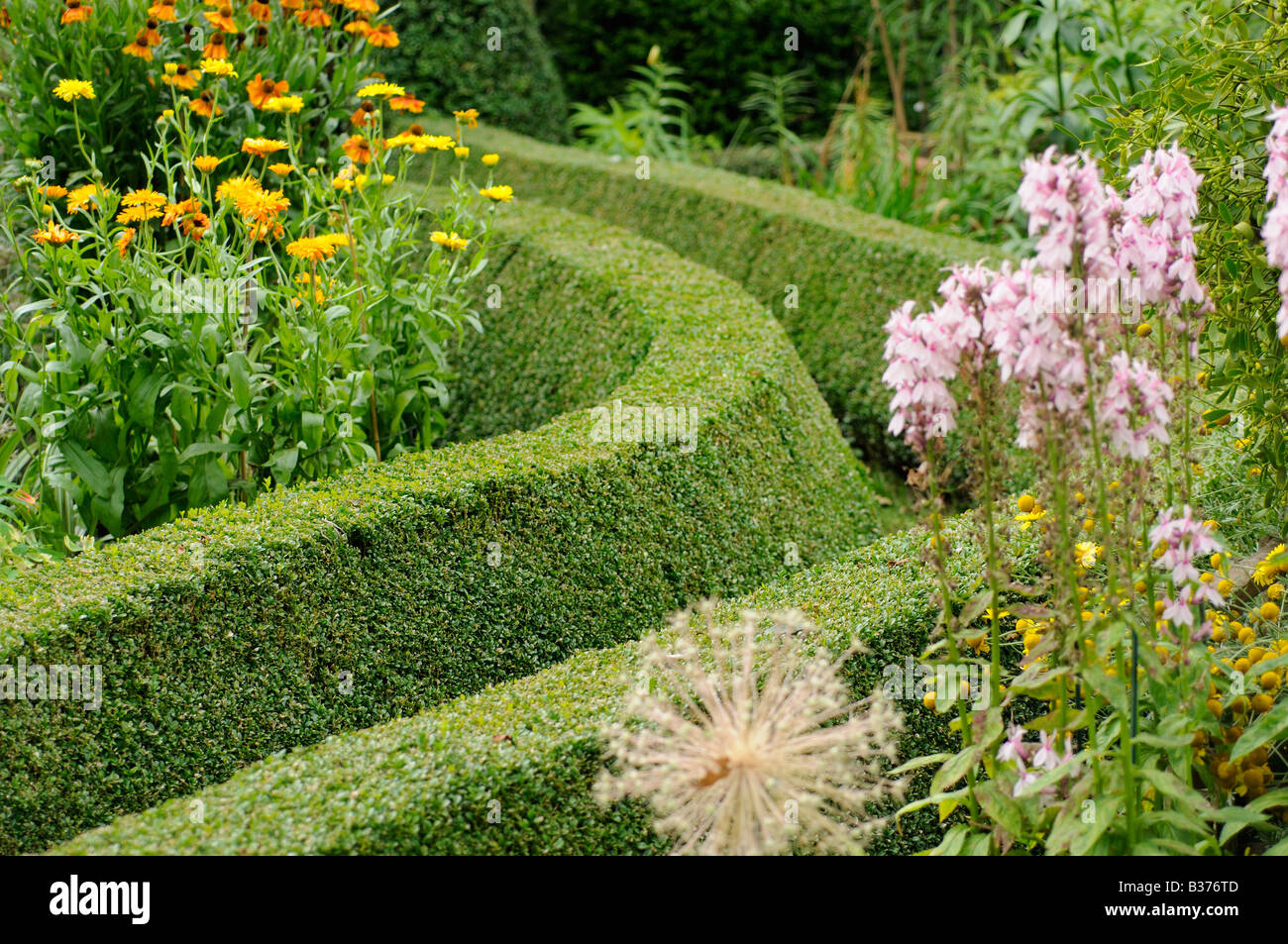 Trimmed Boxwood path hedging in a Summer garden Uk August - Stock Image