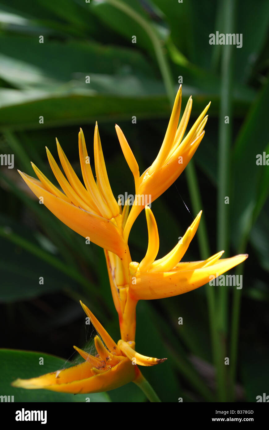 A heliconia plant in sunlight with green leafy background - Stock Image