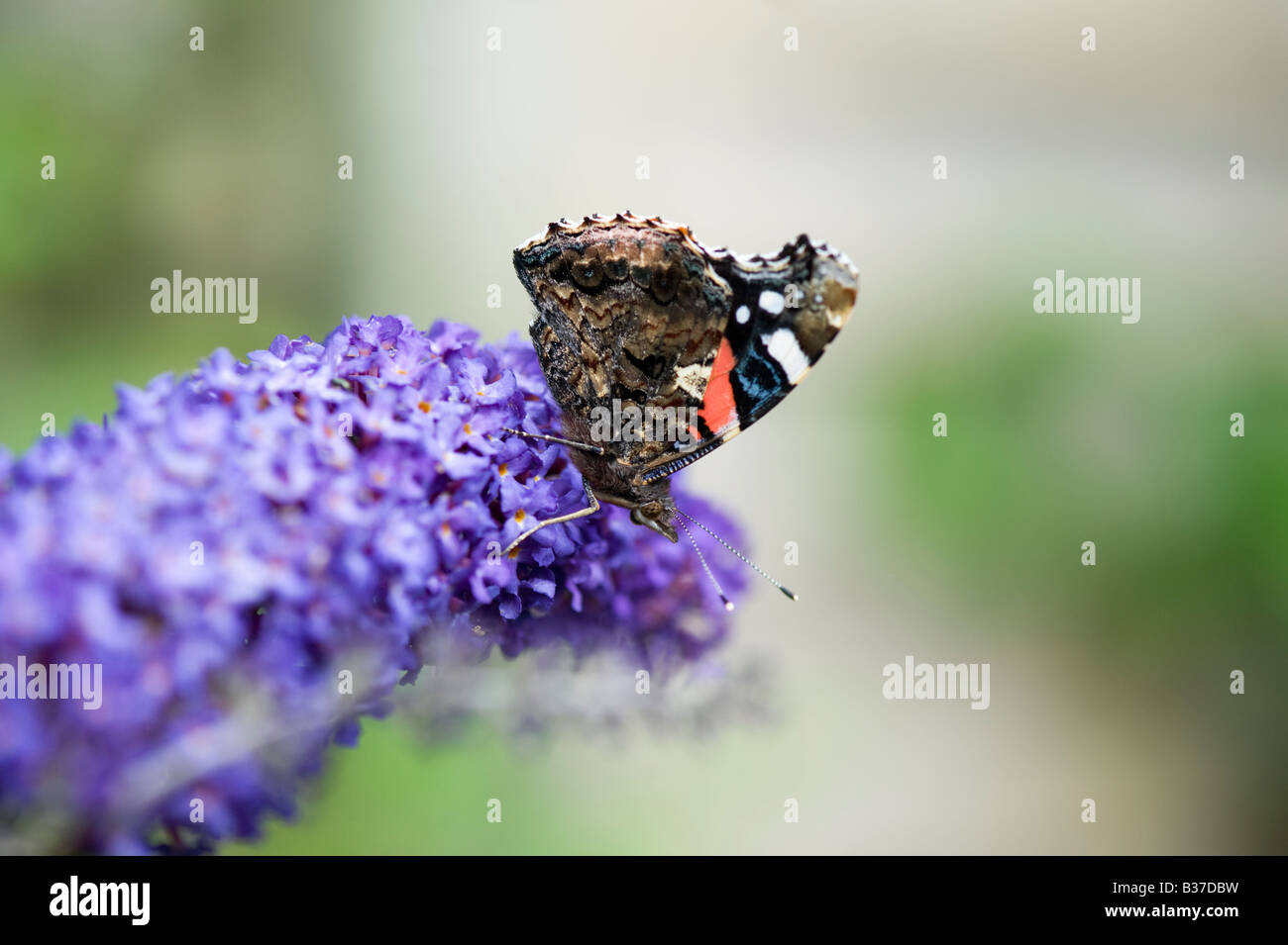Red Admiral butterfly on buddleja in an English garden. UK - Stock Image
