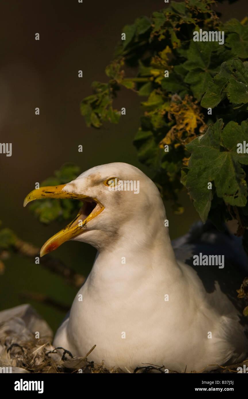 "Herring Gull ""Larus Argentatus""on nest  Bass Rock off the coast of Scotland. Stock Photo"