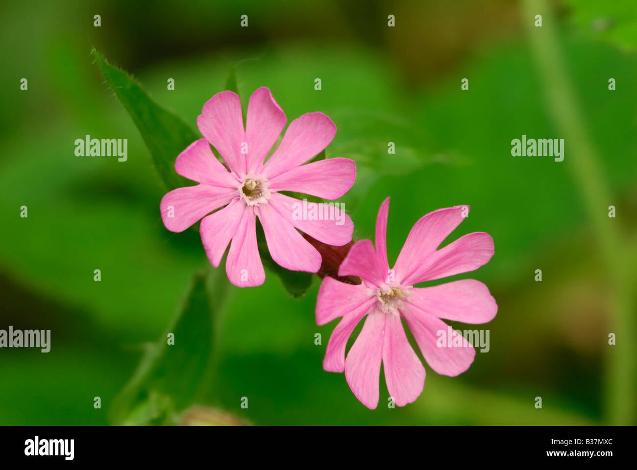 Bird's Eye Primrose (Primula farinosa) Stock Photo