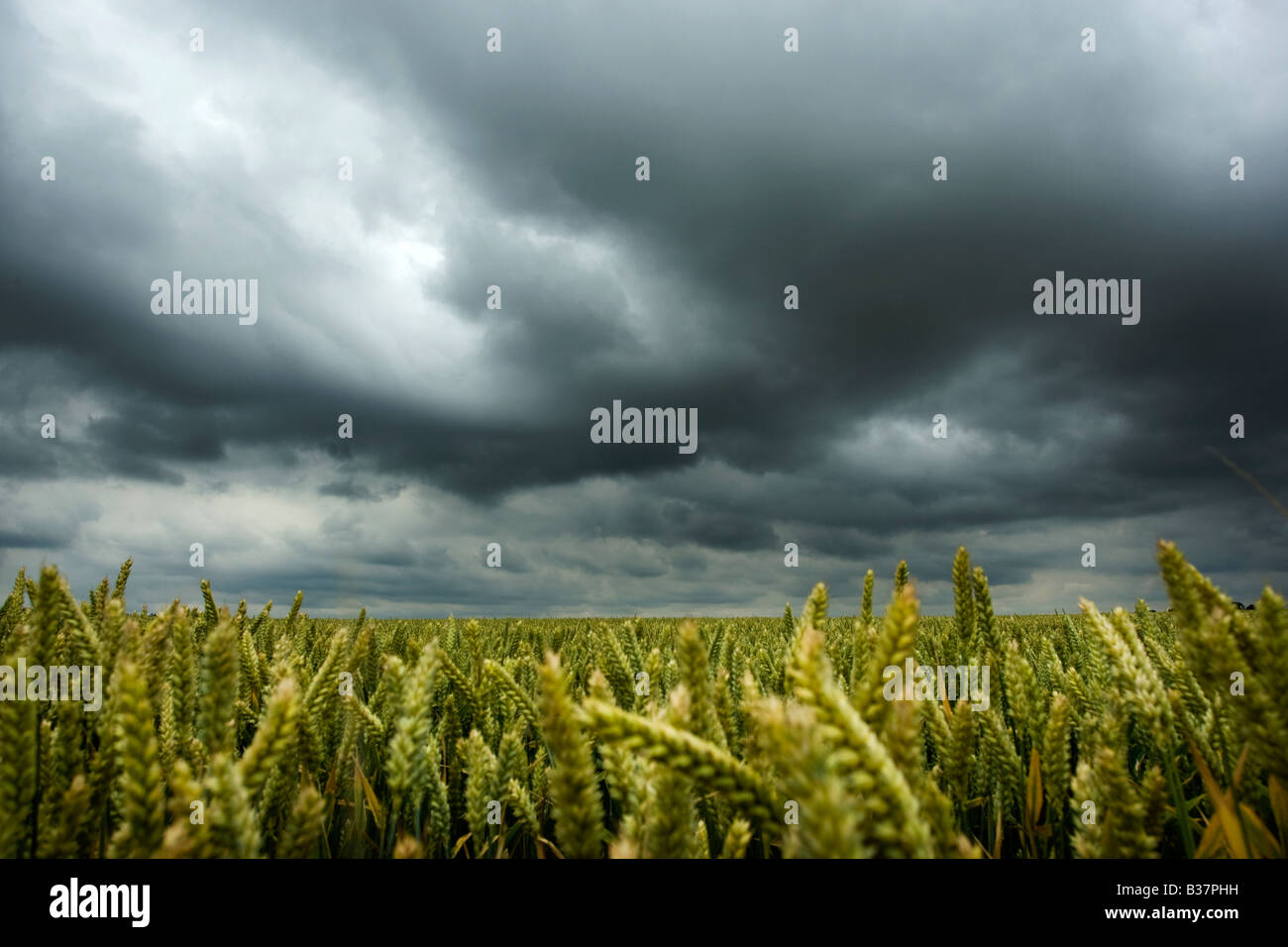 Dramatic stormy sky over a wheat field - Stock Image