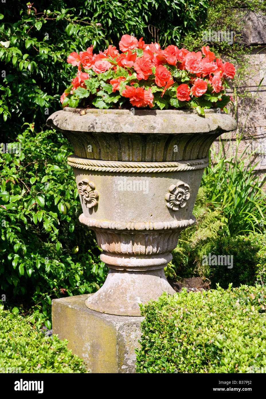 A stone garden urn filled with begonias Begoniaceae - Stock Image