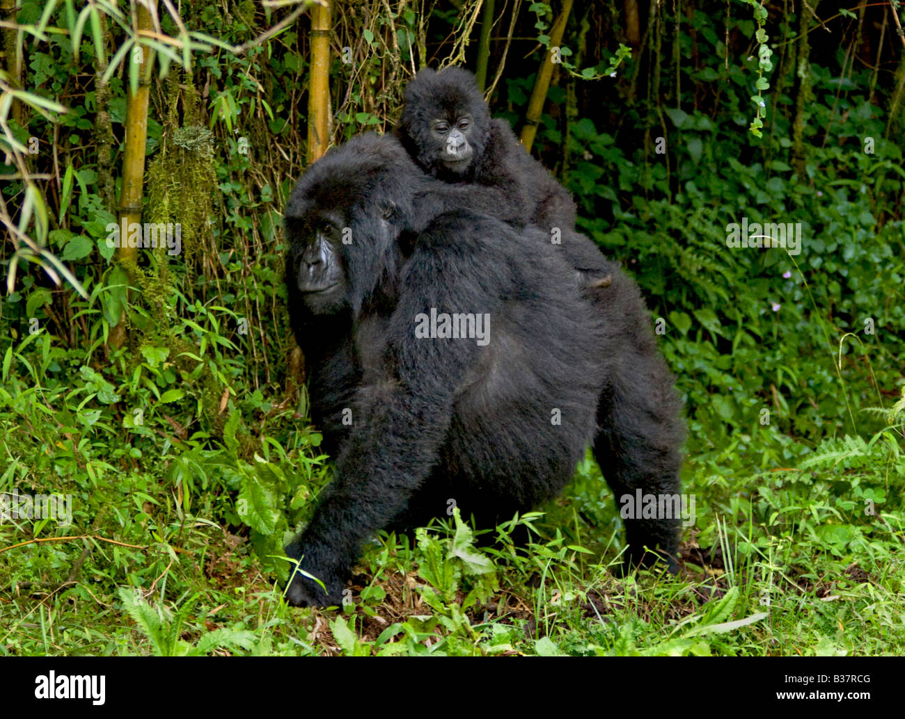 Mother and baby MOUNTAIN GORILLAS Gorilla beringei beringei of the SABYINYO GROUP in VOLCANOES NATIONAL PARK RWANDA - Stock Image
