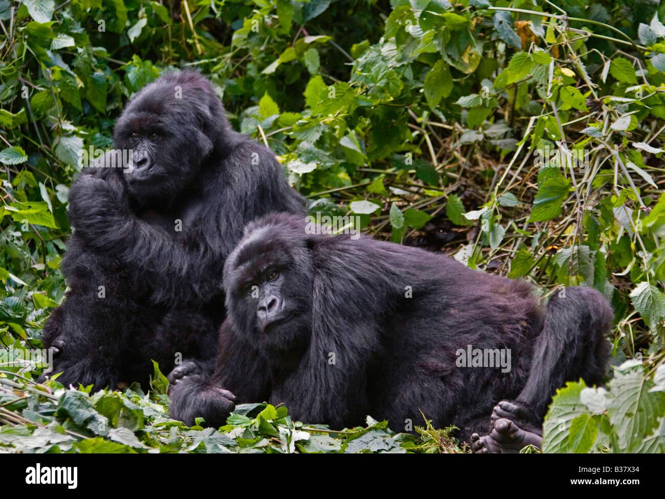 Two brother MOUNTAIN GORILLAS Gorilla beringei beringei of the KWITANDA GROUP in VOLCANOES NATIONAL PARK relax in - Stock Image