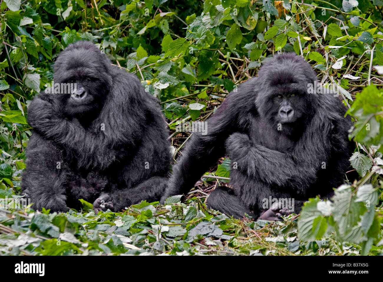 Two brother MOUNTAIN GORILLAS Gorilla beringei beringei of the KWITONDA GROUP in VOLCANOES NATIONAL PARK relax in - Stock Image