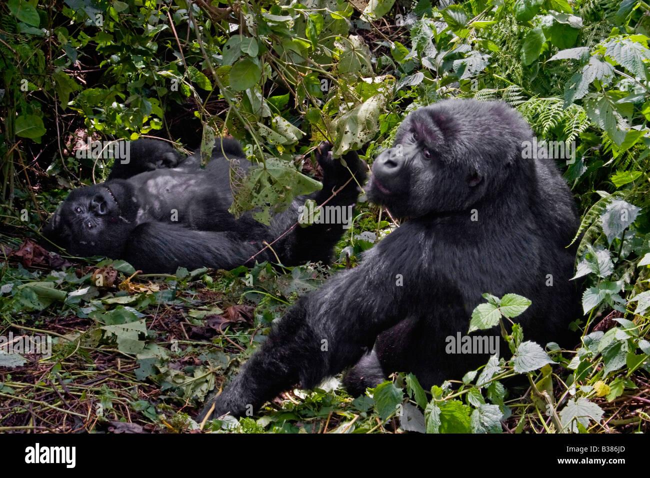 Two MOUNTAIN GORILLAS Gorilla beringei beringei of the KWITANDA GROUP in VOLCANOES NATIONAL PARK relax in a nest - Stock Image