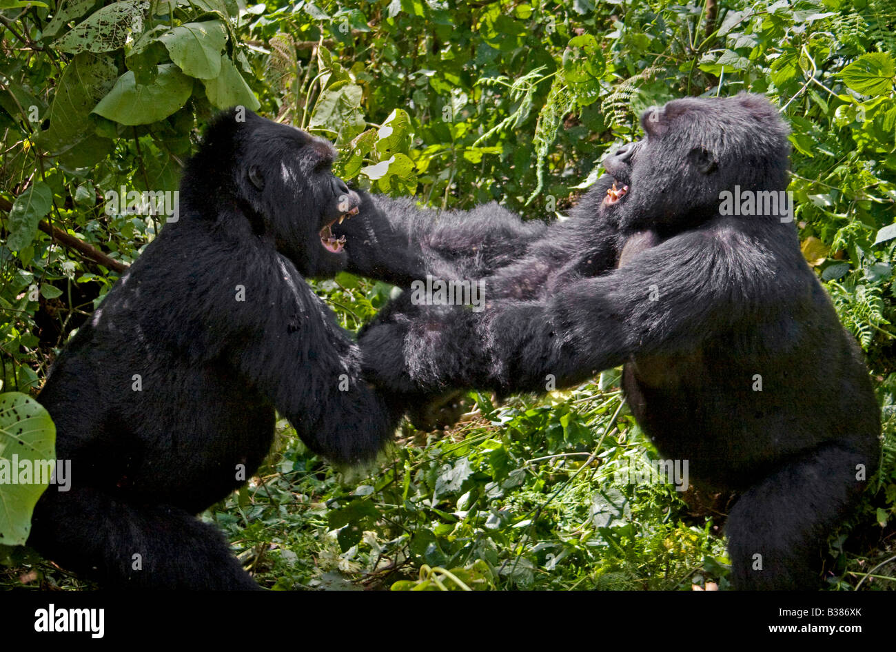 Play fighting creates a pecking order in MOUNTAIN GORILLAS  of the KWITONDA GROUP in VOLCANOES NATIONAL PARK RWANDA - Stock Image