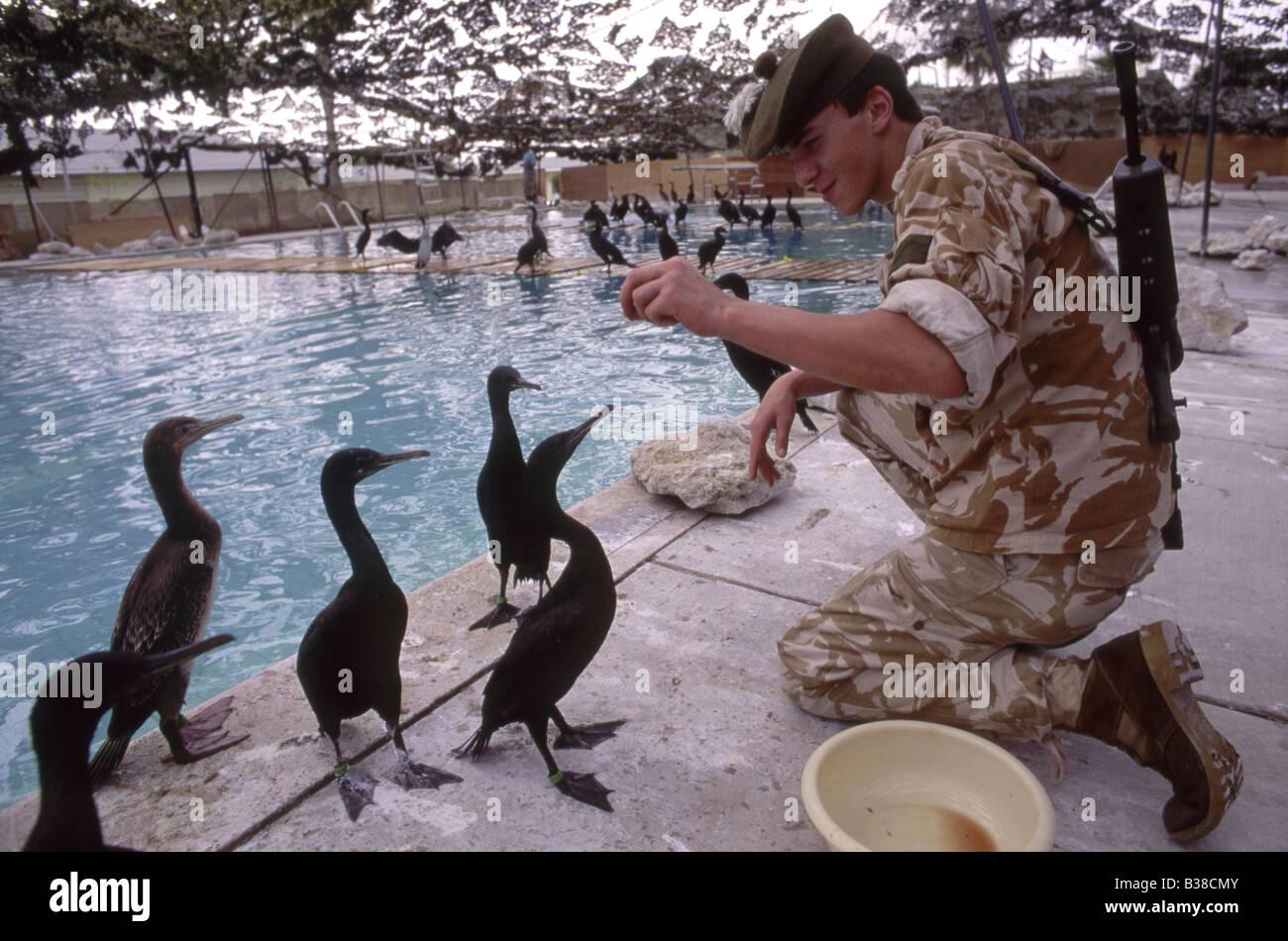An allied soldier feeding previously oiled Socotra cormorants (Phalacrocorax nigrogularis) at a rehabilitation centre, - Stock Image