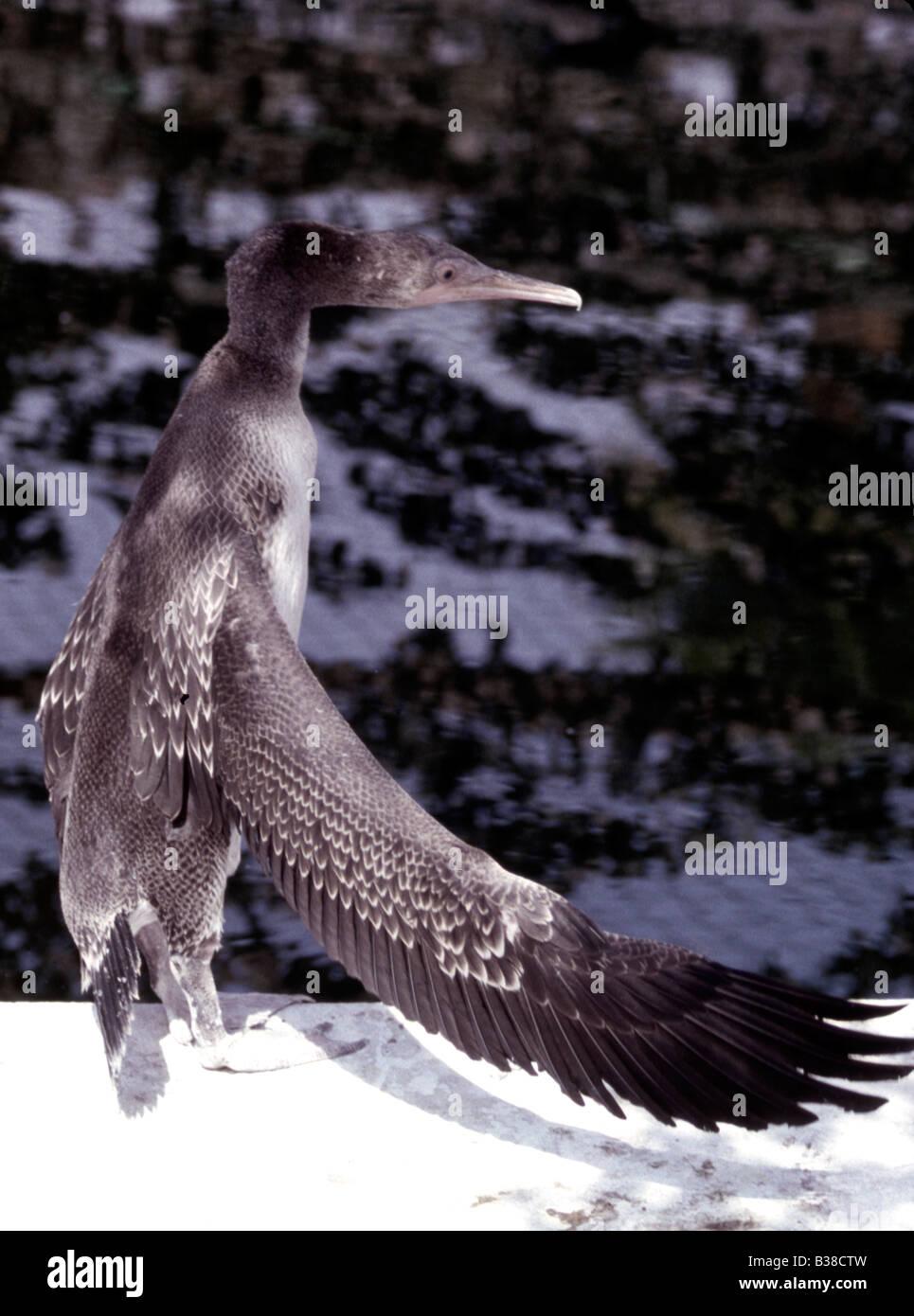Socotra Cormorant (juvenile) Phalacrocorax nigrogularis (captive) during the Gulf eco disaster 1991 - Stock Image