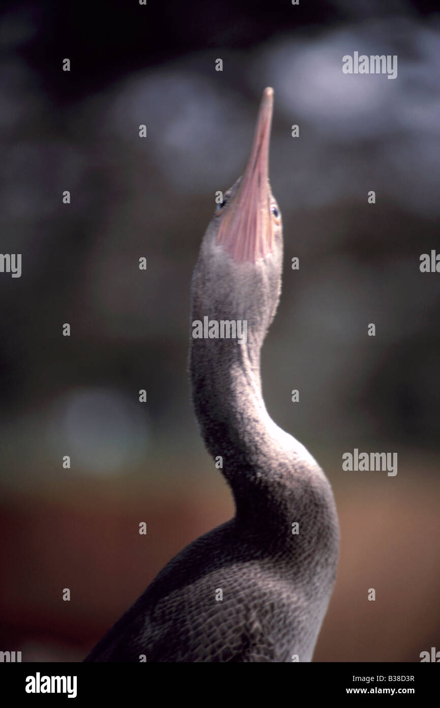 Socotra Cormorant (juvenile) Phalacrocorax nigrogularis - Stock Image