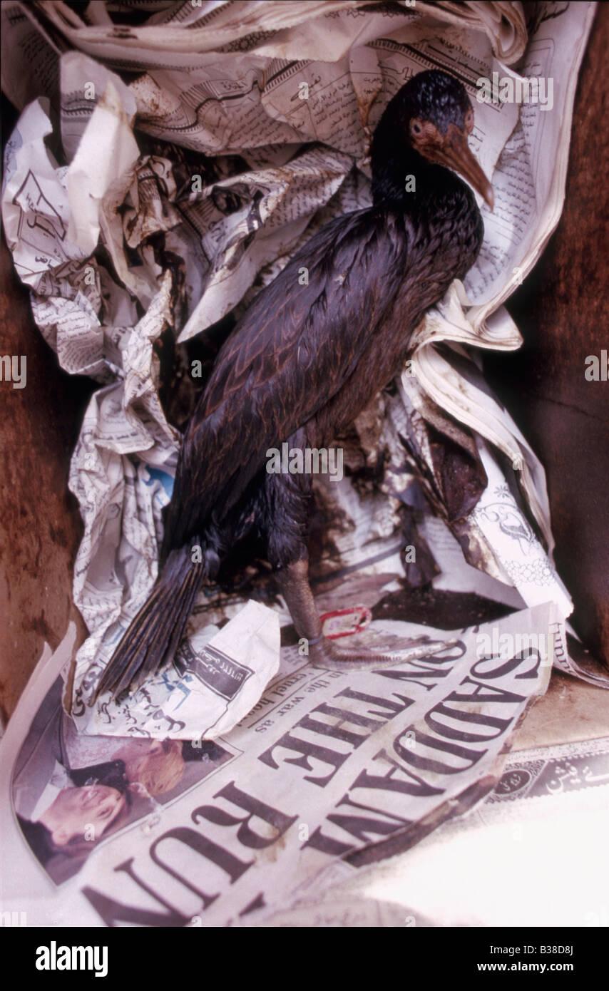 Oiled Socotra cormorant (Phalacrocorax nigrogularis) in a box at a rehabilitation centre, Gulf War 1991, with newspaper - Stock Image