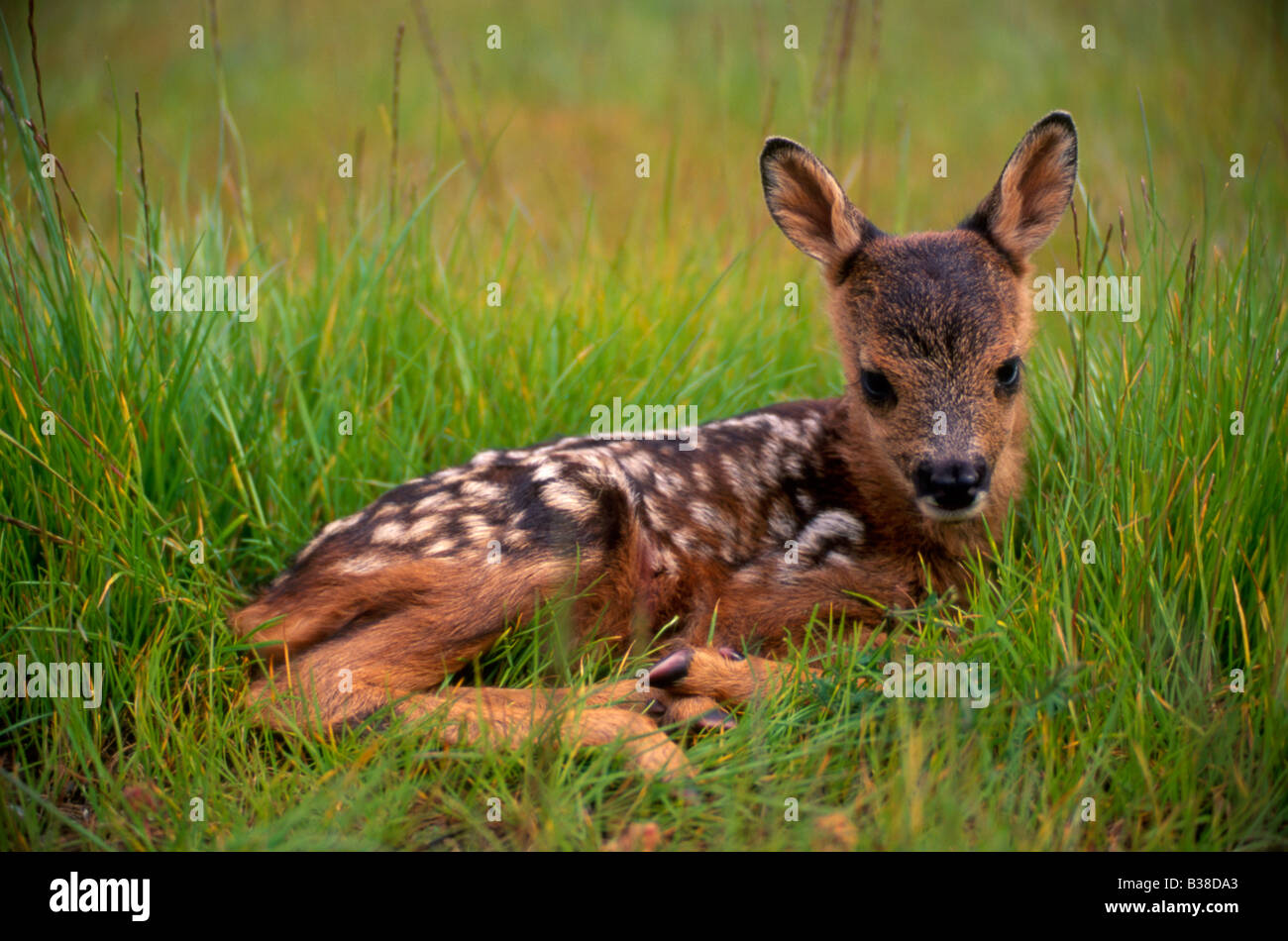 Roe deer (capreolus capreolus) fawn Stock Photo