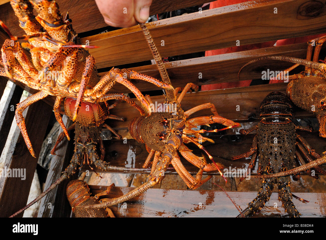 Crayfish in collecting boxes where they are stored until transportation - Stock Image