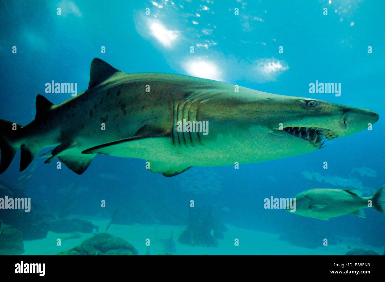 Sandtiger Shark in the Oceanarium of Lisbon Stock Photo