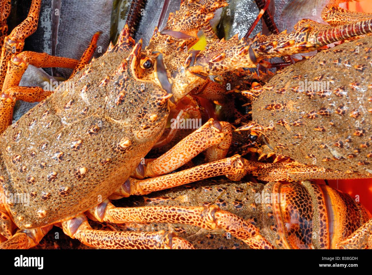 CHL Chile Juan Fernandez archipelago Robinson Crusoe Island 05 2007 Alive crayfish - Stock Image