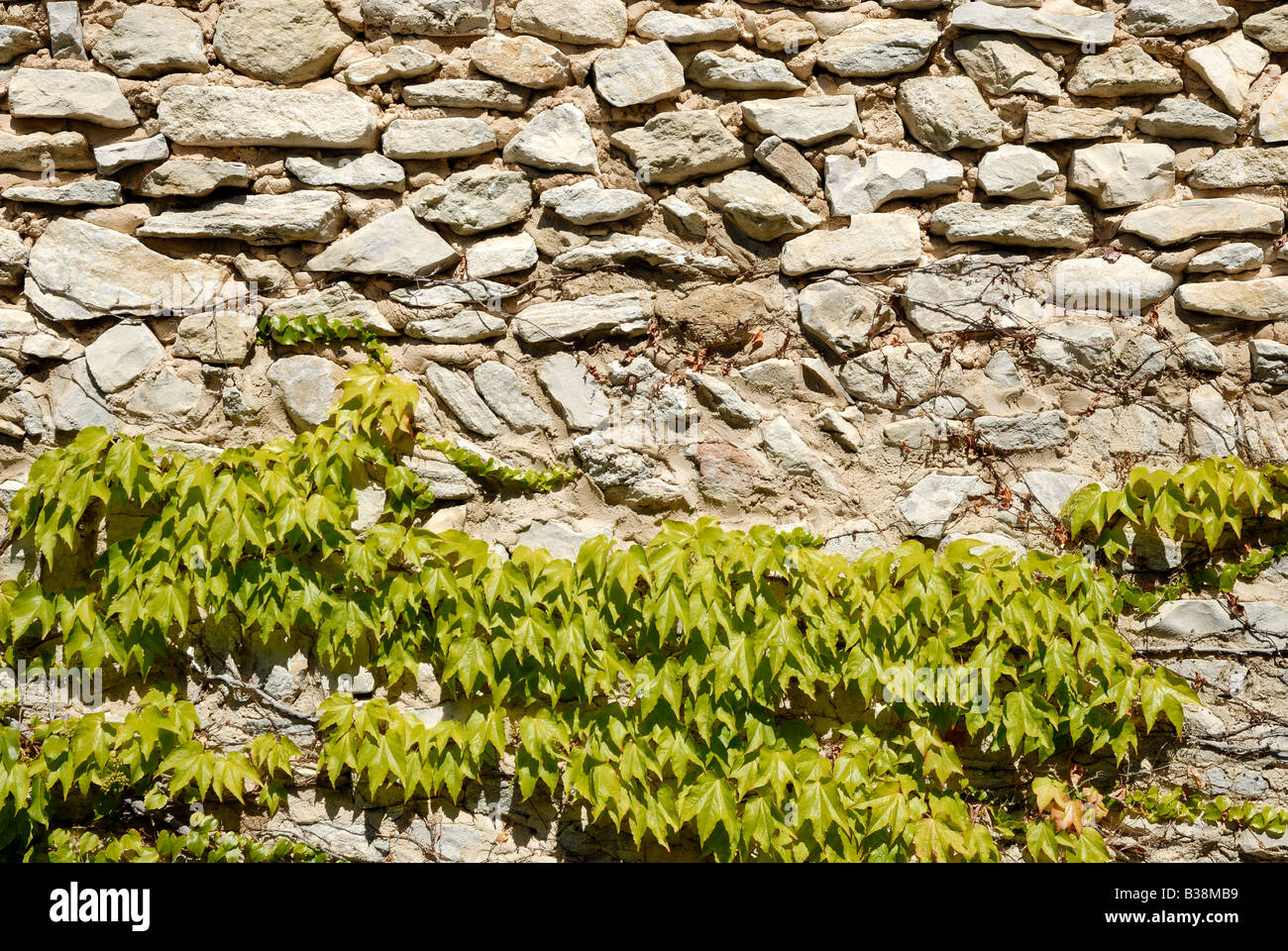 Ivy on the stone wall - Stock Image