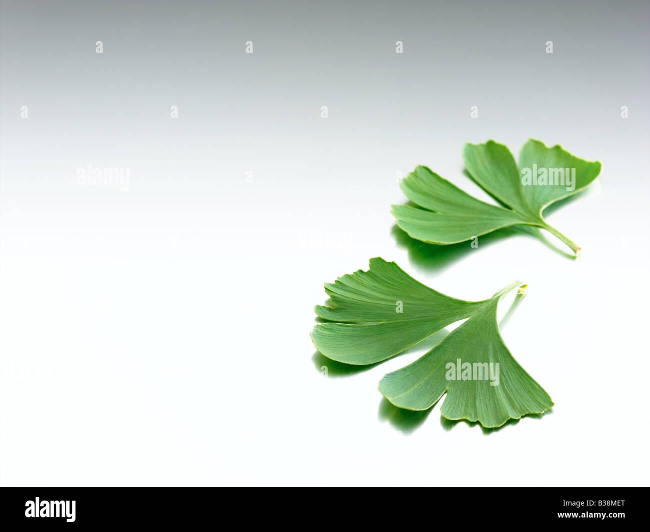 ginkgo - Stock Image