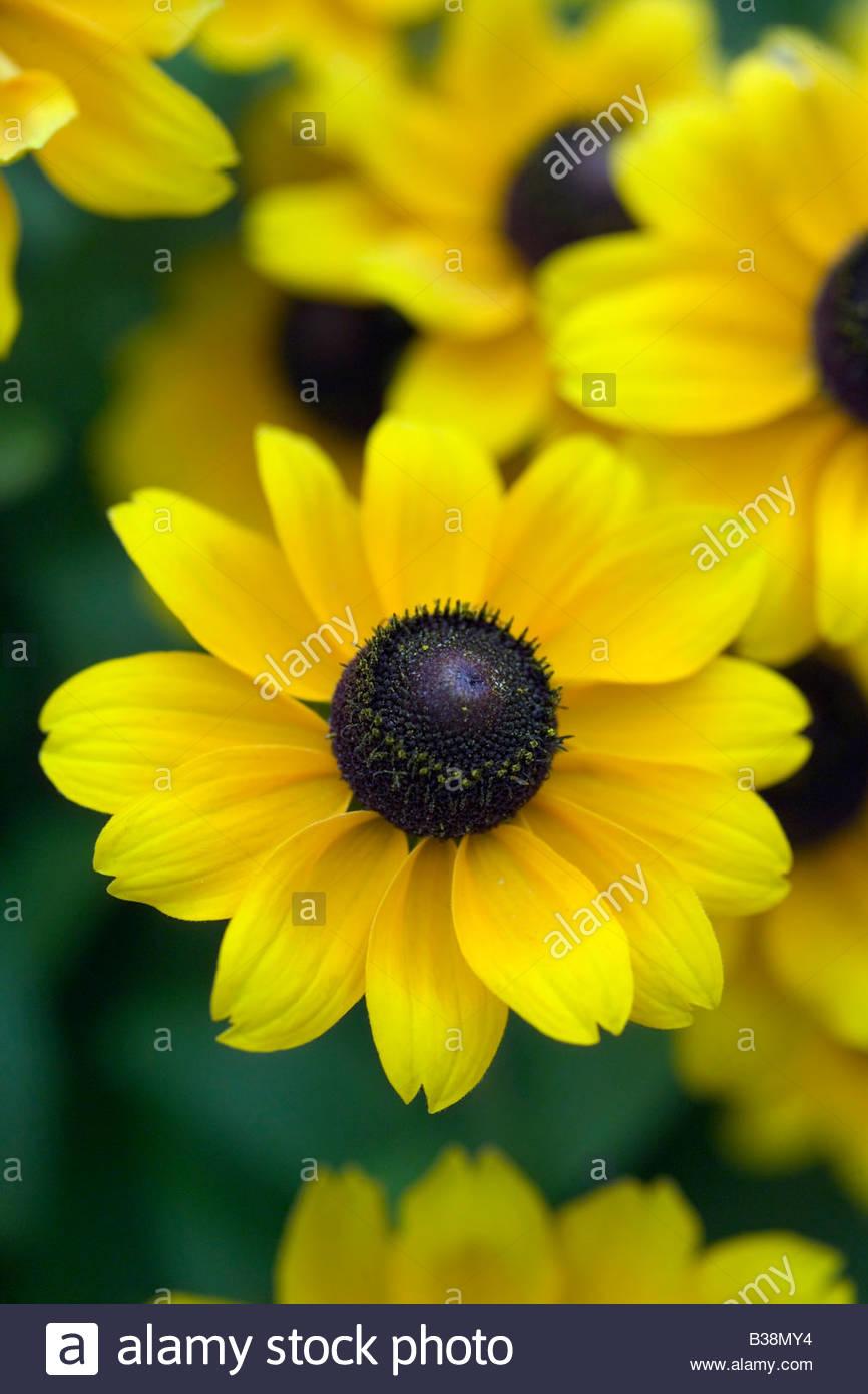 Yellow Flower Black Centre Black Stock Photos Yellow Flower Black