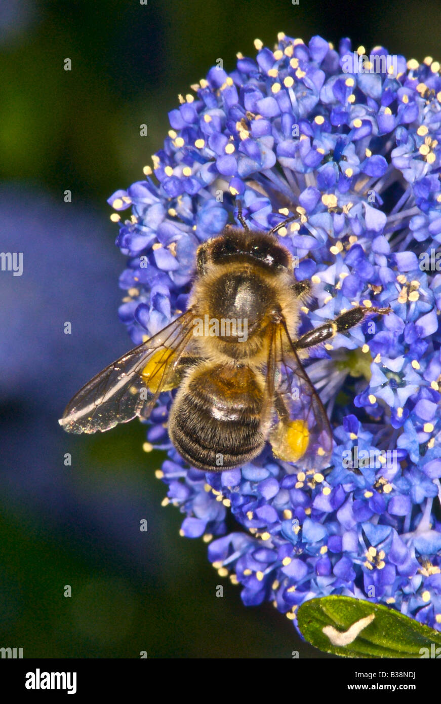Honeybee gathering nectar and pollen honey bee - Stock Image