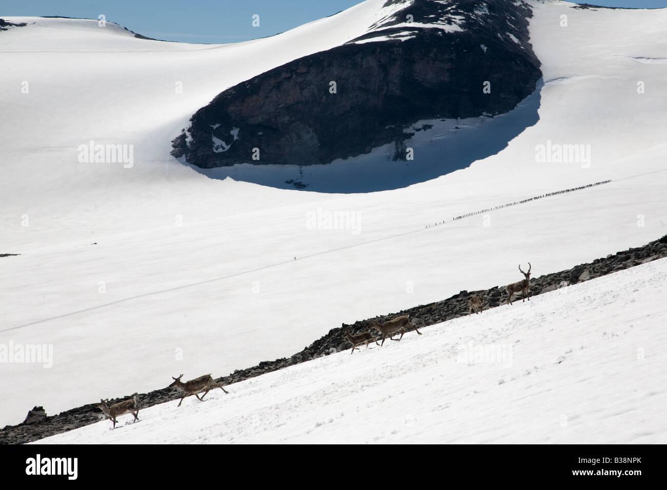 Norway Galdhöpiggen glacier with reindeer - Stock Image