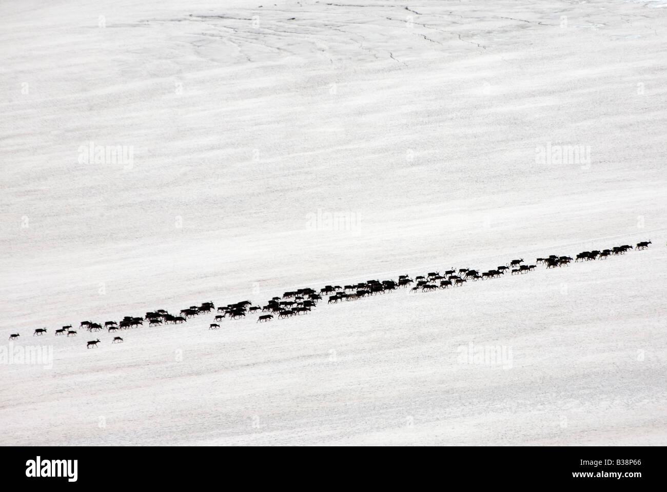 Norway Jotunheimen fjell Galdhöpiggen reindeer on glacier summer 2008 - Stock Image