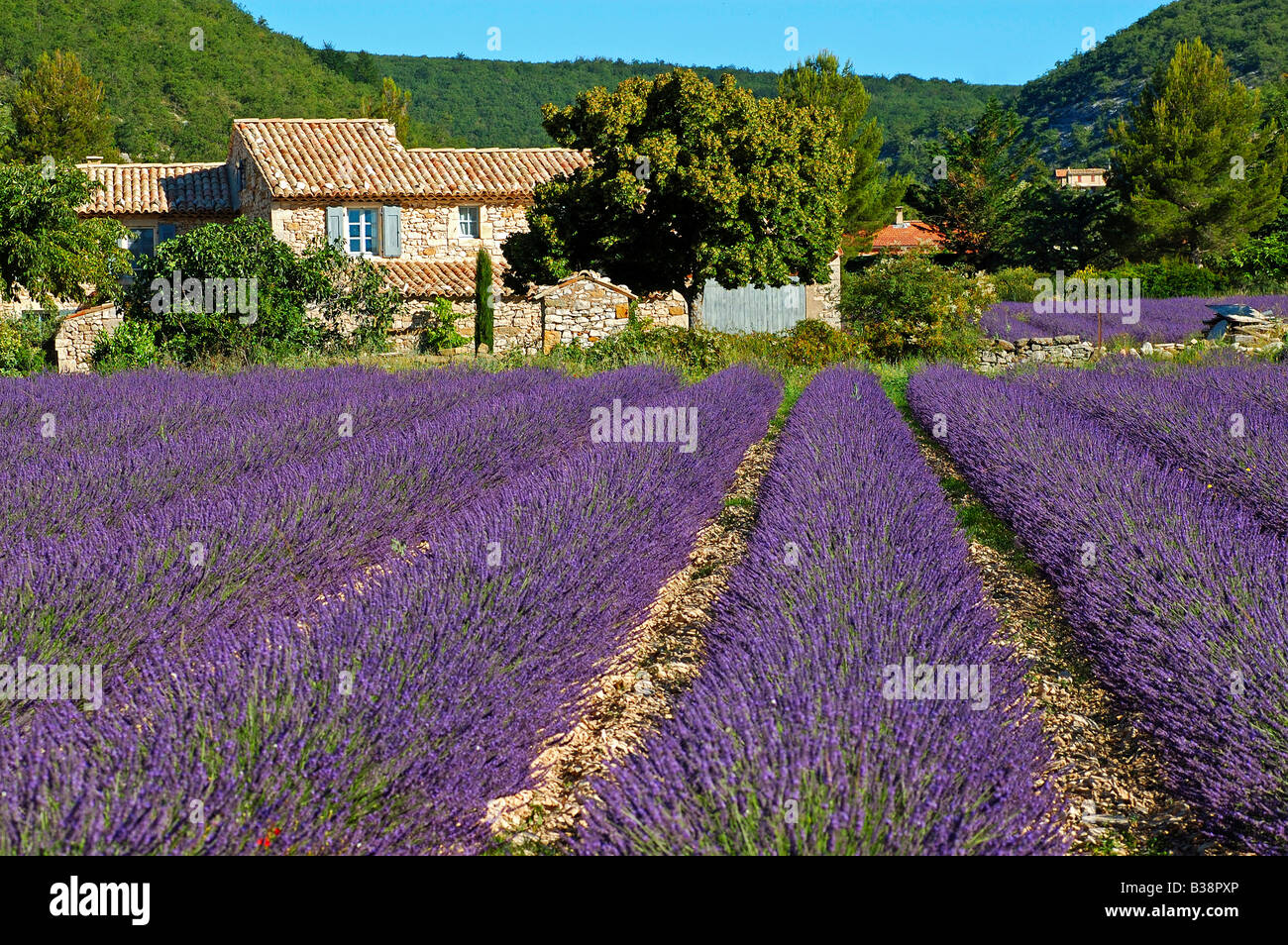 Typical Provencal house behind a field with blossoming Lavender near Banon, Provence, France Stock Photo