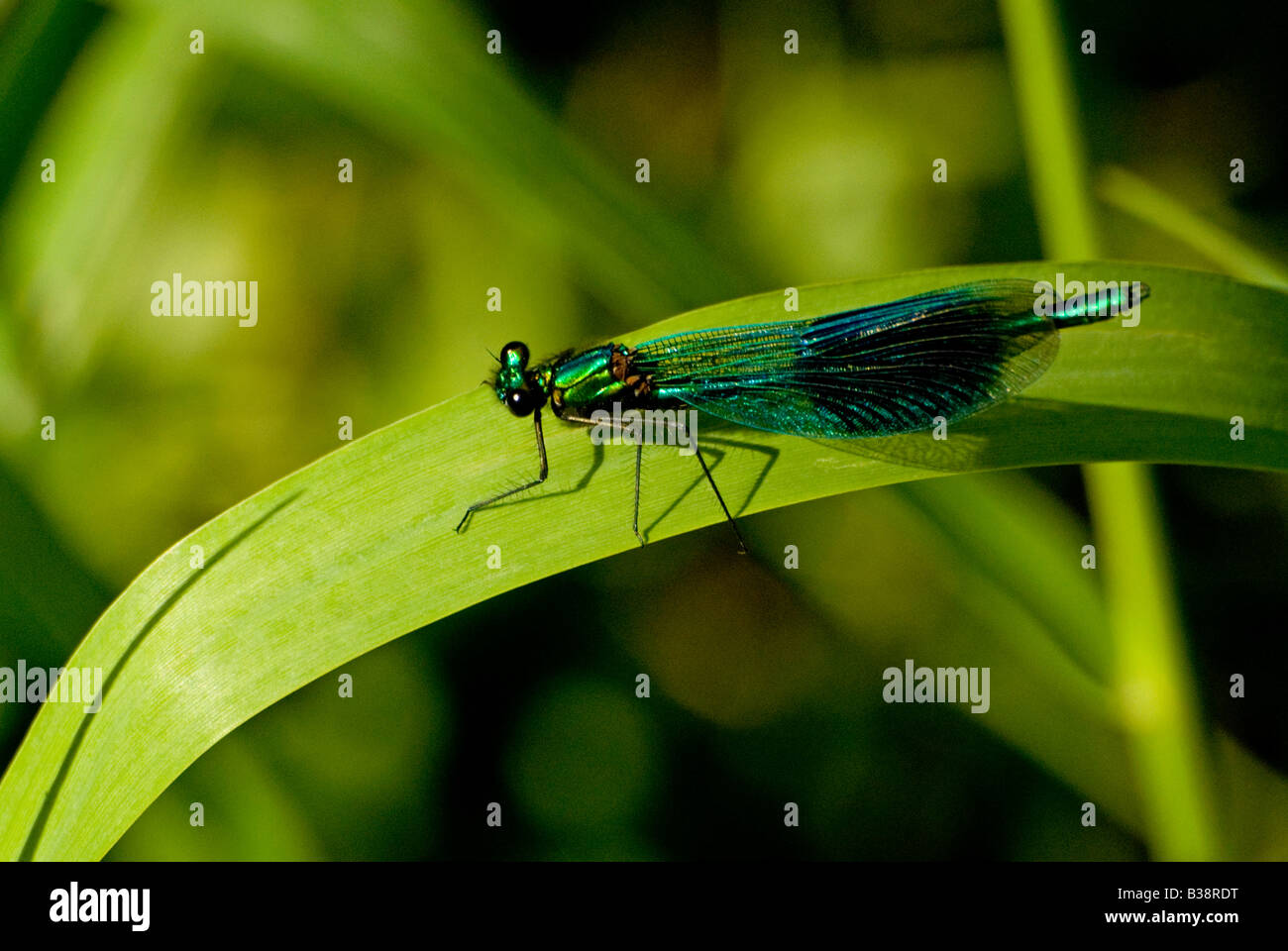 DRAGONFLY OR DAMSELFLY MALE BANDED DEMOISELLE CALOPTERYX SPLENDENS Stock Photo