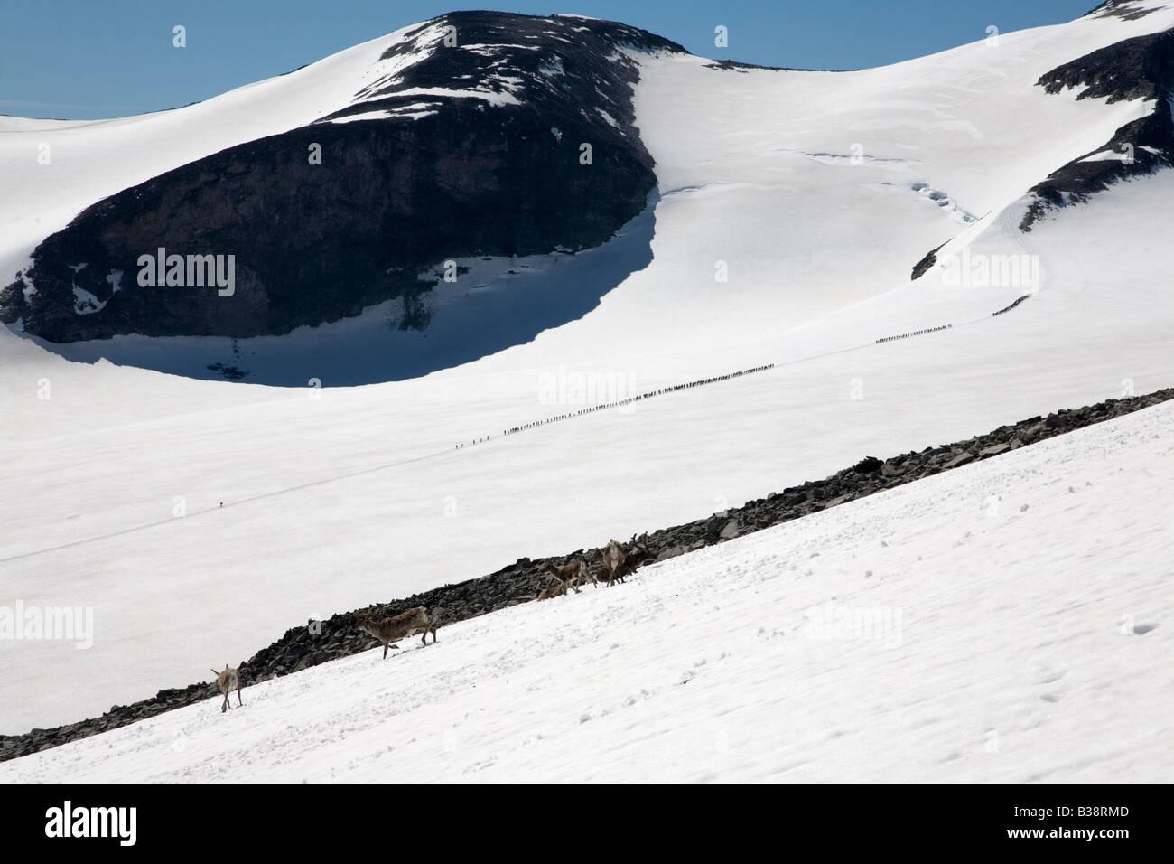 Norway Galdhöpiggen glacier with reindeer and people on glacier summer 2008 - Stock Image