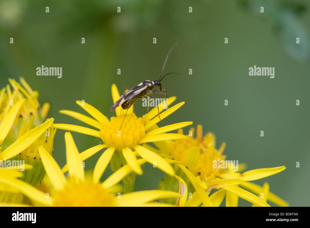 Mirid (Capsid) Bug Miridae species perched on a Common Ragwort Senecio jacobaea flower - Stock Image