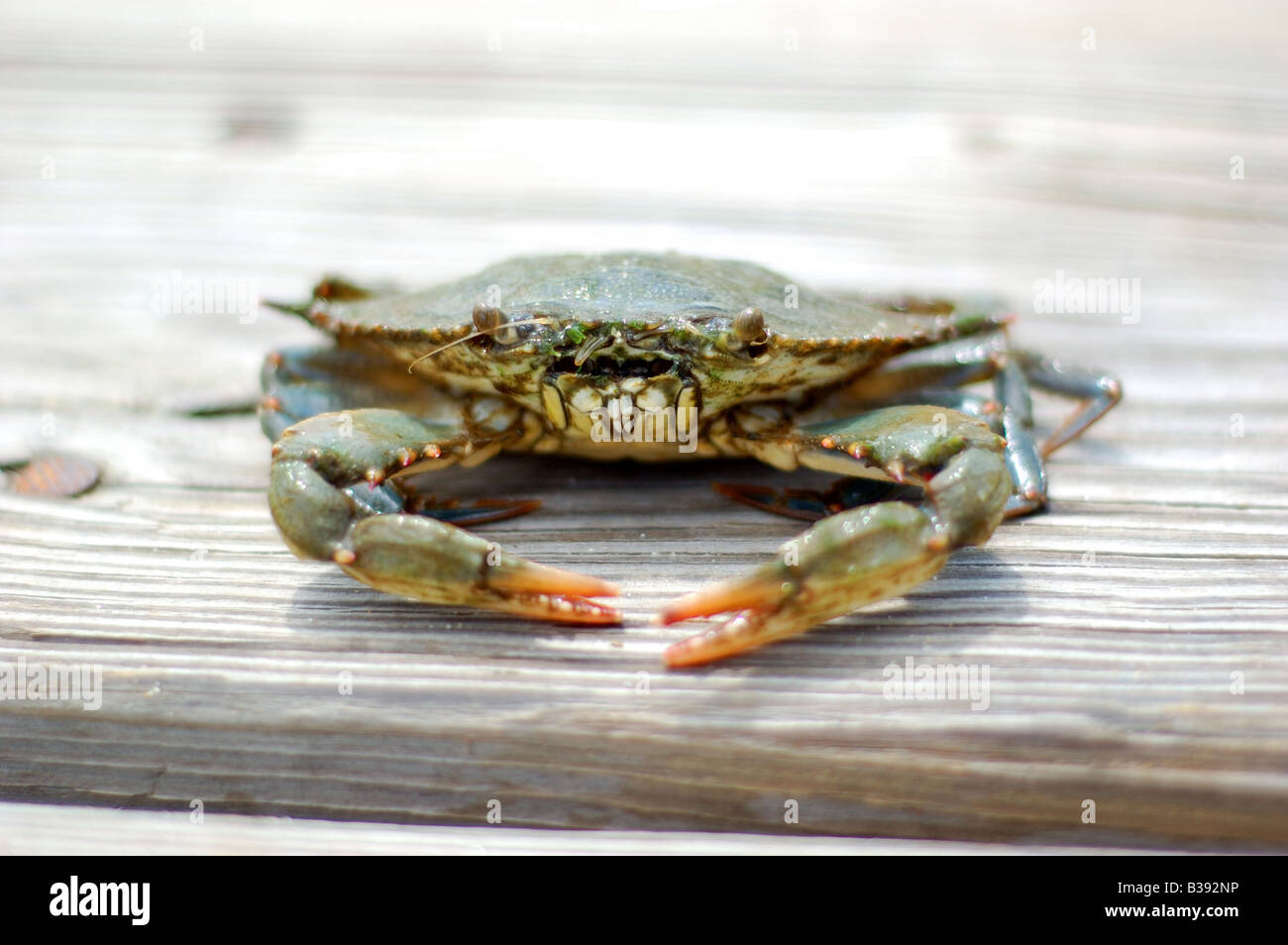 Front view closeup of a live crab freshly caught on a wooden pier at Chesapeake Bay, Maryland - Stock Image