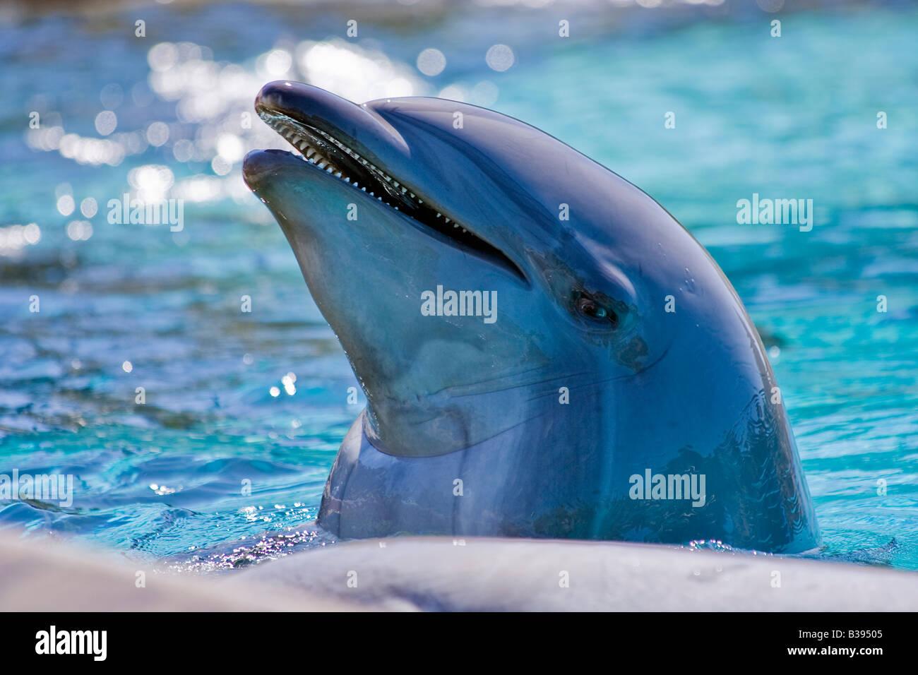 Bottlenose Dolphin Tursiops truncatus Großer Tümmler captive with short lower jaw Brachygnathie inferior - Stock Image